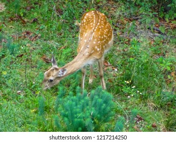 fallow deer (dama dama in latin) in coniferous forest in Central Europe