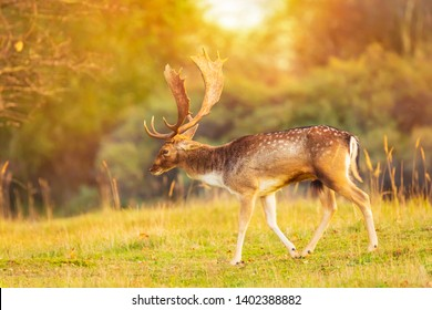 Fallow deer Dama Dama male with big antlers during rutting season. The Autumn sunlight and nature colors are clearly visible on the background.