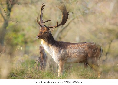 Fallow deer (Dama Dama) male walking in a forest. The Autumn sunlight and nature colors are clearly visible on the background.