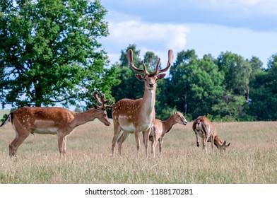 Fallow Deer (Dama dama) and Mouflon (Ovis orientalis) in farm, Poland