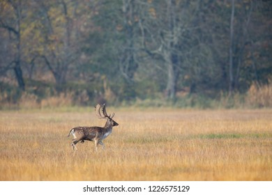 Fallow Deer (Dama dama) on a meadow in the nature protection area Moenchbruch near Frankfurt, Germany.