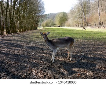 Fallow deer (dama dama) with other deers in background