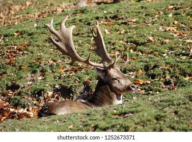 The fallow deer (Dama dama) is a popular hunting game in Europe