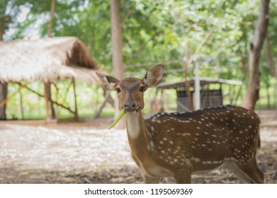 The fallow deer (Dama dama) is a ruminant mammal belonging to the family Cervidae.  fallow deer ( Dama ) hind looking at camera while grazing on a glade