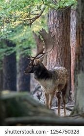 The fallow deer (Dama dama) is a ruminant mammal belonging to the family Cervidae.