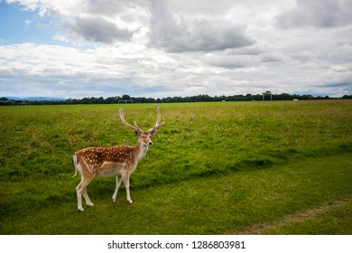 Fallow deer (Dama dama) is a ruminant mammal belonging to the family Cervidae. Habituated wild animal in Phoenix park, Dublin. Cluds and shiny weather at summer