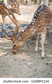 The fallow deer (Dama dama) is a ruminant mammal belonging to the family Cervidae. family of Axis deers together,One stag leading the herd of does, Animal from the forests