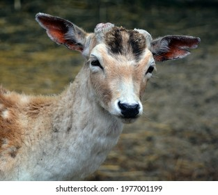 The fallow deer (Dama dama) is a ruminant mammal belonging to the family Cervidae. This common species is native to western Eurasia, - Shutterstock ID 1977001199
