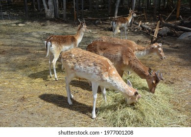 The fallow deer (Dama dama) is a ruminant mammal belonging to the family Cervidae. This common species is native to western Eurasia, - Shutterstock ID 1977001208