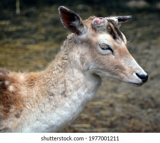 The fallow deer (Dama dama) is a ruminant mammal belonging to the family Cervidae. This common species is native to western Eurasia, - Shutterstock ID 1977001211