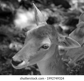 The fallow deer (Dama dama) is a ruminant mammal belonging to the family Cervidae. This common species is native to western Eurasia, - Shutterstock ID 1992749324
