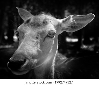 The fallow deer (Dama dama) is a ruminant mammal belonging to the family Cervidae. This common species is native to western Eurasia, - Shutterstock ID 1992749327
