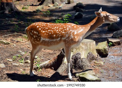 The fallow deer (Dama dama) is a ruminant mammal belonging to the family Cervidae. This common species is native to western Eurasia, - Shutterstock ID 1992749330