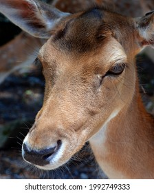 The fallow deer (Dama dama) is a ruminant mammal belonging to the family Cervidae. This common species is native to western Eurasia, - Shutterstock ID 1992749333