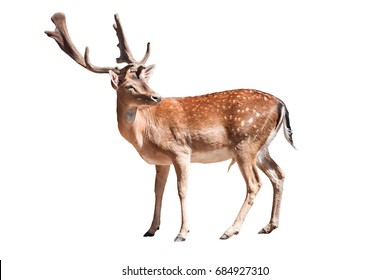 The fallow deer ,Dama dama,  is a ruminant mammal belonging to the family Cervidae. Isolated on white