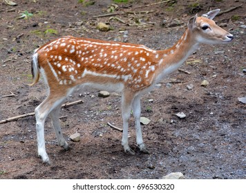 The fallow deer (Dama dama) is a ruminant mammal belonging to the family Cervidae. This common species is native to western Eurasia,