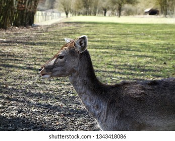 Fallow deer (dama dama) side-face