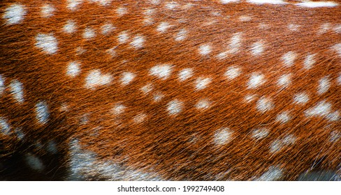 The fallow deer (Dama dama) skin is a ruminant mammal belonging to the family Cervidae. This common species is native to western Eurasia, - Shutterstock ID 1992749408