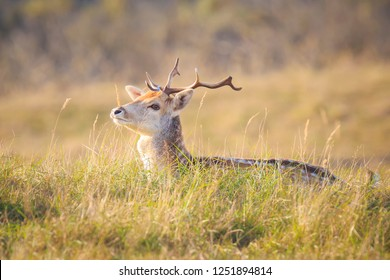 Fallow deer (Dama Dama) stag with big antlers resting in a meadow. The nature colors are clearly visible on the background, selective focus is used.
