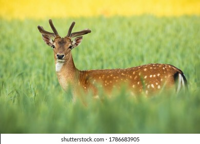 Fallow deer, dama dama, stag with growing new antlers covered in velvet standing on field in summer nature. Majestic spotted male animal looking to the camera in grain.