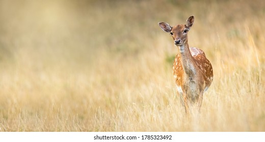 Fallow deer, dama dama, standing on meadow in autumn nature. Spotted hing looking to the camera with copy space. Wild animal female staring on dry grassland from front.
