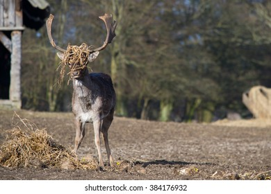 Fallow deer (Dama dama) with straw in his antlers in the Deer Park, Denmark