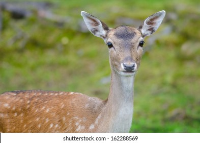 Fallow deer doe in a forest in summer time