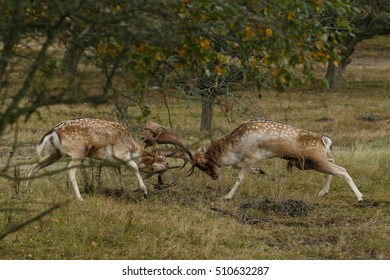 Fallow deer during rutting season
