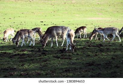 Fallow deer eating in the meadow