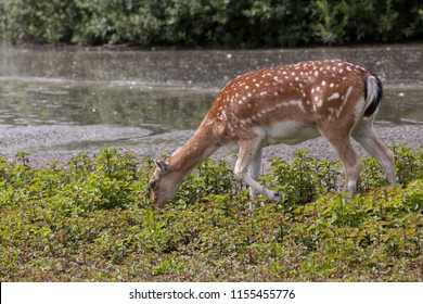 Fallow deer feeding on the grass in a meadow next to a river.