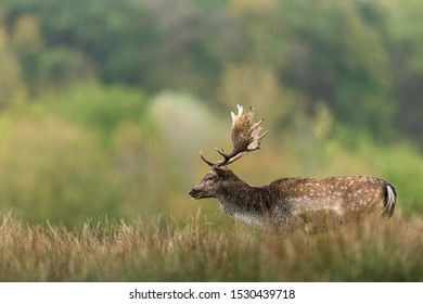 Fallow deer in the forest during the rut