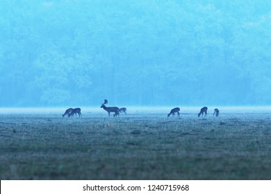 fallow deer herd at dawn ( Dama dama, buck with does )