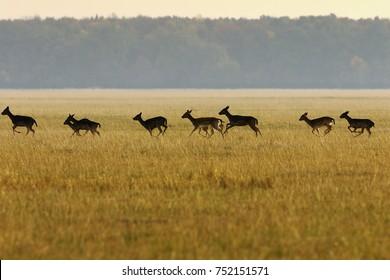 fallow deer herd running in the field ( Dama ), autumn season