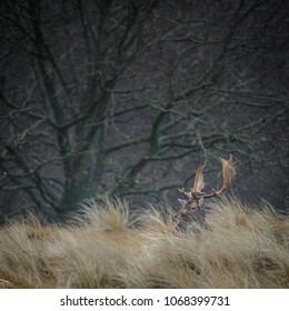 Fallow deer lying in the grass