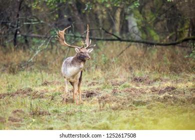 Fallow deer male (dama dama) in autumn forest.