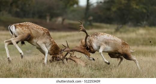 Fallow deer male fighting during rutting season