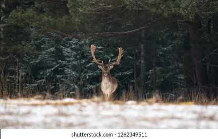 Fallow Deer Male In Winter Snow Forest. Panoramic Artistic Winter Christmas Wildlife Landscape With Daniel ( Dama Dama ).Motionless Great Stag In Winter Forest. Adult Red Deer With Huge Horns
