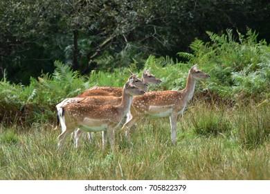 Fallow Deer New Forest National Park Hampshire England UK