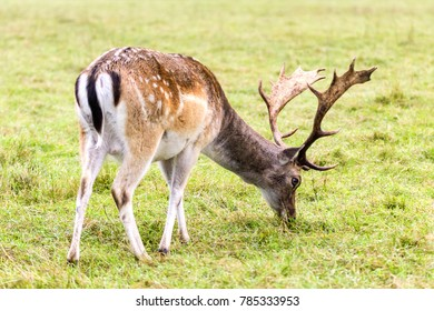 fallow deer on a meadow