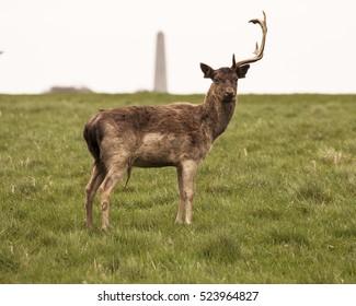 fallow deer in the Phoenix Park Dublin