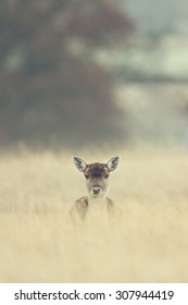 Fallow deer popping its head up out of the long grass