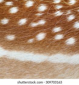 fallow deer real pelt, colorful animal fur  texture