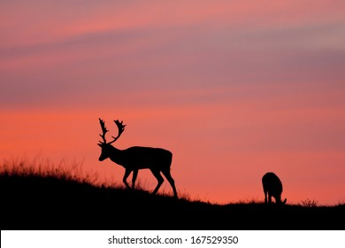 Fallow deer silhuette with a colorful sunset.