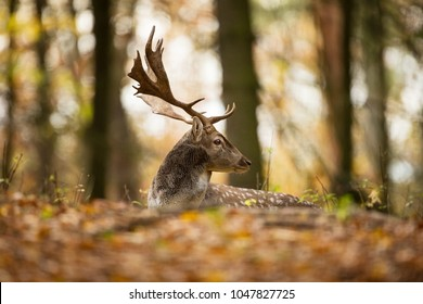 Fallow deer spotted comes from the Mediterranean region and Asia minor. Photo was taken in the Czech Republic.