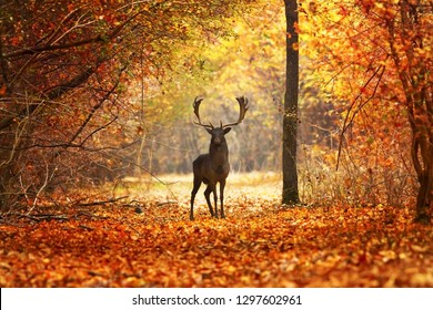 fallow deer stag in beautiful autumn forest ( Dama dama )