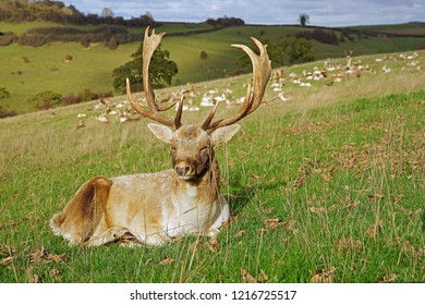 Fallow deer stag, dama dama, resting on a hill side with a herd of Fallow deer in the distance, Gloucestershire, UK