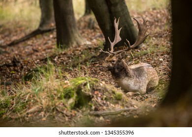 Fallow Deer stag (Dama Dama) taking rest in the autumn forest during mating season