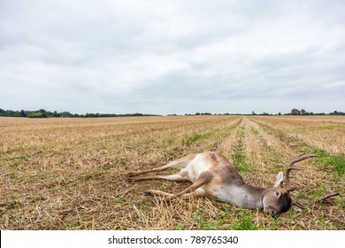 Fallow deer stag laying dead in a field