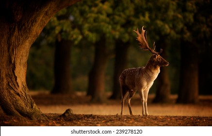 A fallow deer standing under a large oak tree watching the morning sunrise