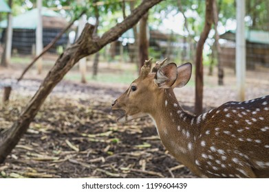 Fallow deer stands and eats corn . Picture of a beautiful Fallow Deer (Dama dama) in a colorful forest.Fallow Deer (Dama dama) with small antlers walking through a dark forest during Fall season.